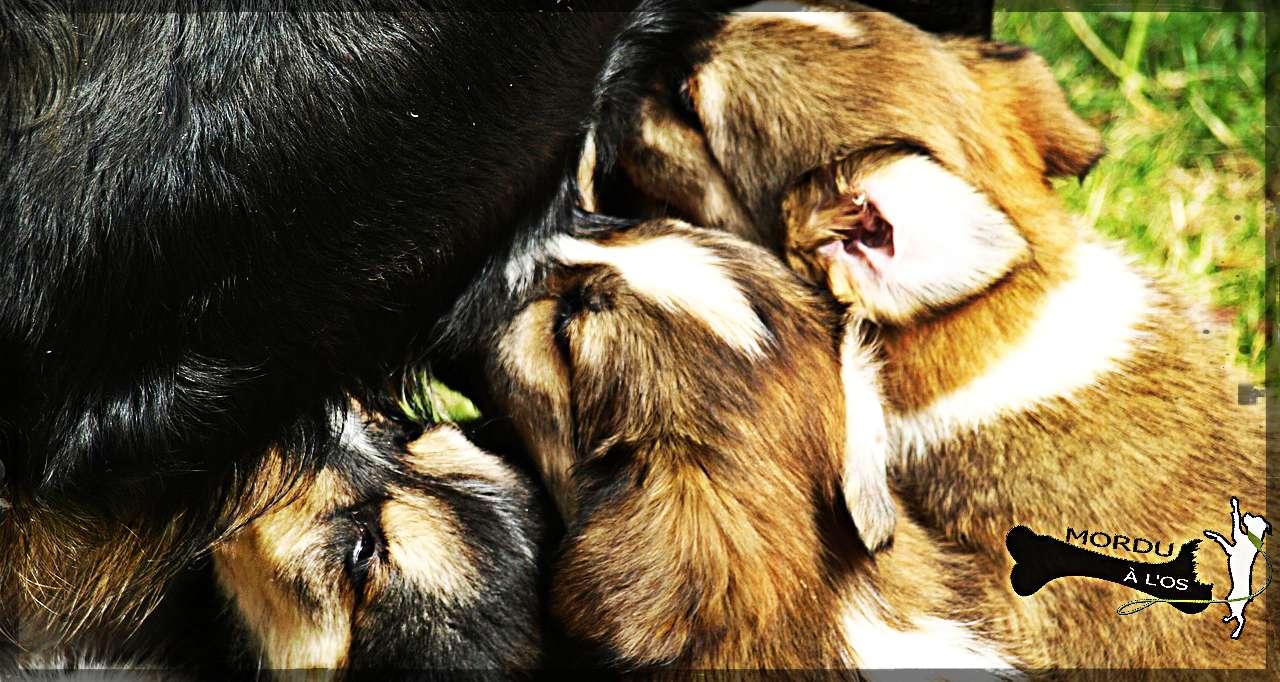 élevage de chien